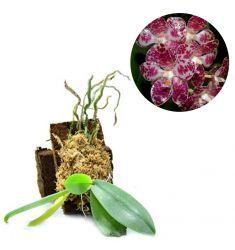 Phalaenopsis Gigantea Rp 1,750,000