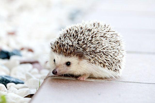 無料の写真: ハリネズミ, 動物, 赤ちゃん, かわいい, 小, ペット - Pixabayの無料画像 - 468228