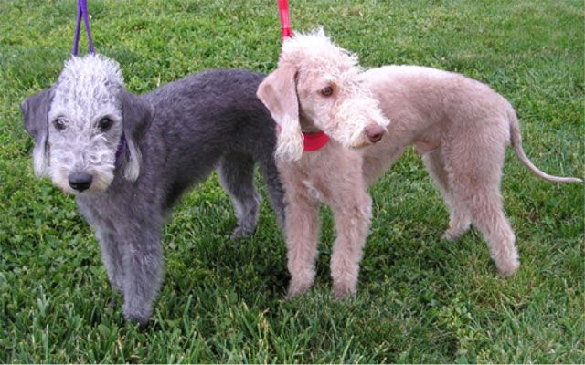 "Due to its appearance, the Bedlington Terrier is often referred to as a ""lamb on a leash."" The breed is playful, cheerful, and affectionate by nature. Bedlington Terriers originated in Northumberland,"
