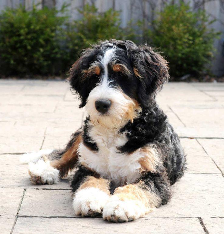 Estándar Bernedoodles - Un bernedoodle guapo de perreras de Swissridge. Este perro no arroja y es hipoalergénico. Usted no puede conseguir un perro más perfecto en términos de cuteness,