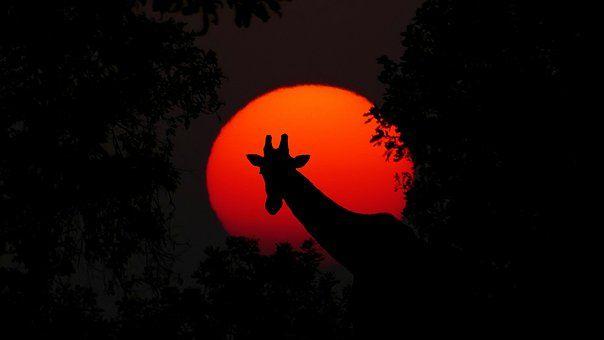Zsiráf, Állati, Afrika, Napnyugta