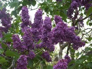 Old fashioned Lilac Syringa Vulgaris  - Needs to grow by my dream home