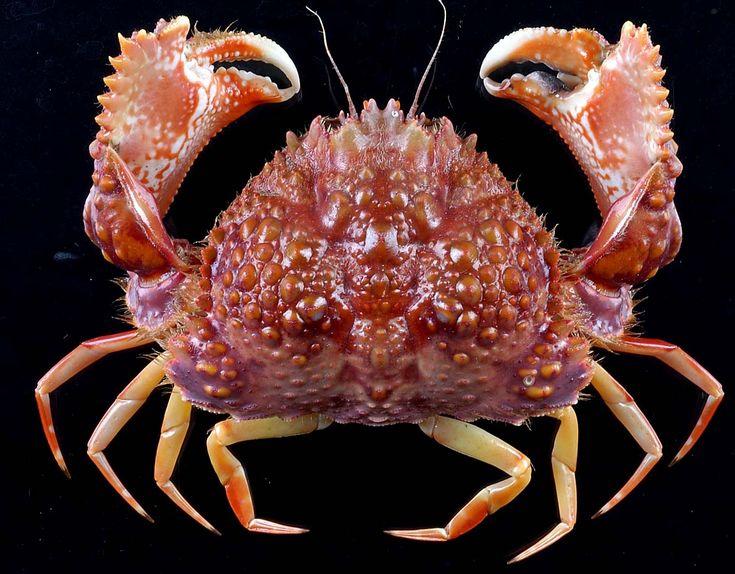 мощная фото морских животных краб лучшие кадры подворачиваются