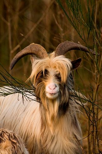 Wild Bilberry Goat: are a rare herd that have lived together on Bilberry Rock in Waterford City for hundreds of years. Locals believe they came over with the Huguenots from France over 300 years ago and have lived on Bilberry Rock ever since. The herd is currently 28 goats, with eight females. They are larger than domestic goats with shaggy coats and very large horns.