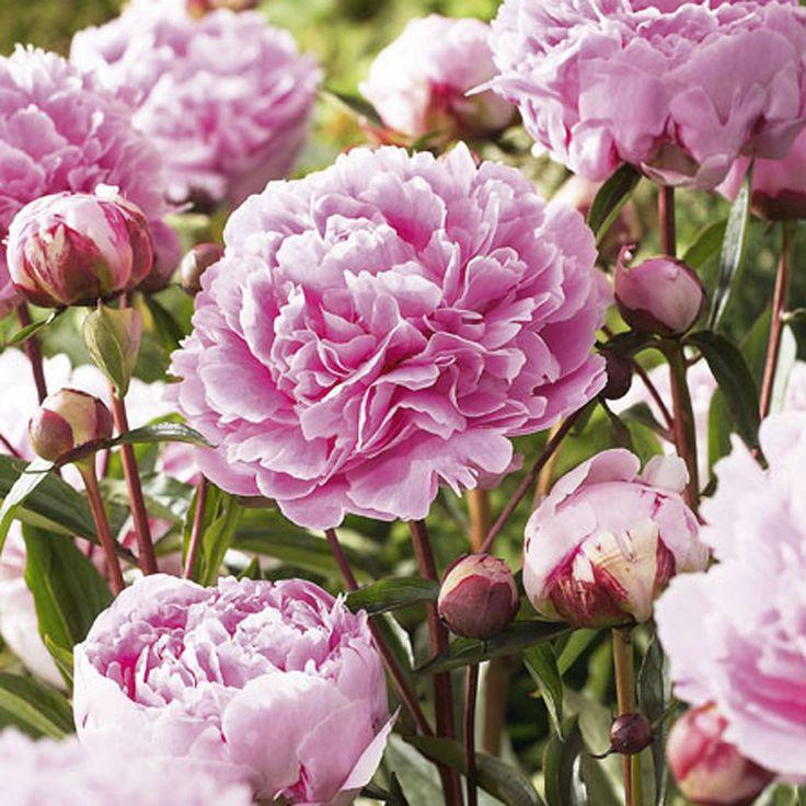 Perfect Buy Peony Sarah Bernhardt : Plants At SamsClub.com