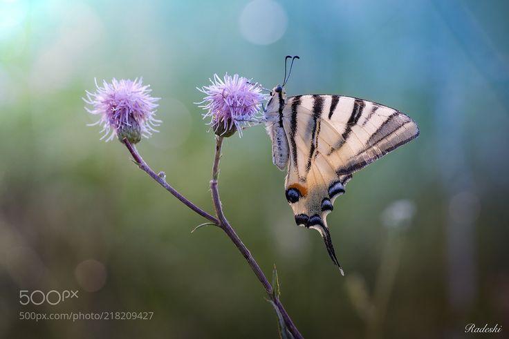 Podalirio (Roberto Aldrovandi / Reggio Emilia / Italia) #nikon D800E #macro #photo #insect #nature