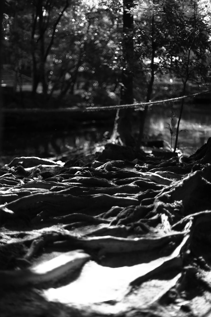 https://flic.kr/p/BiGCyi | tree roots in light #netspashecophotography