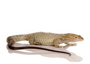 Monitor lizards for sale