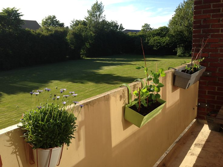 Min altan med ærteplanter.