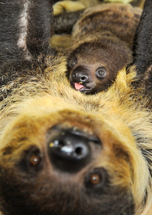 Best Sid The Sloth Images On Pinterest Sloths Sid The Sloth - 5 month old baby and sloth are the most unlikely of best friends