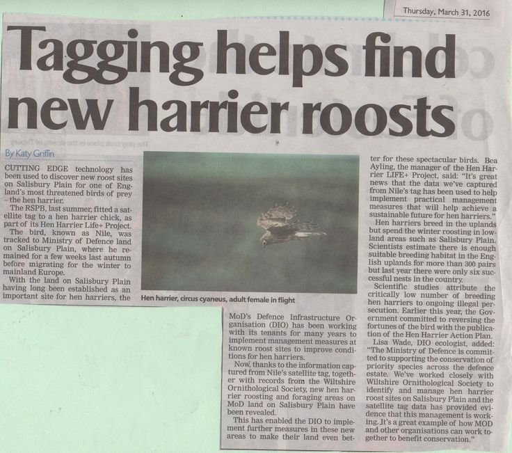 One of Britain's most threatened birds of prey, the hen harrier, has been roosting on Salisbury Plain