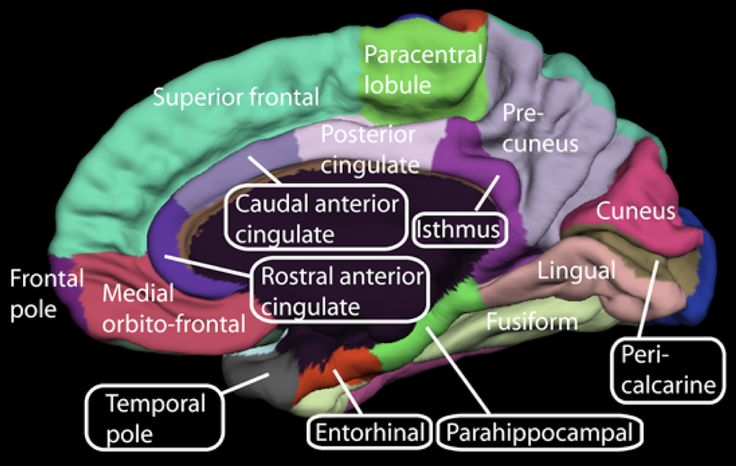 Medial surface of cerebral cortex - gyri - Anterior cingulate cortex - Wikipedia, the free encyclopedia
