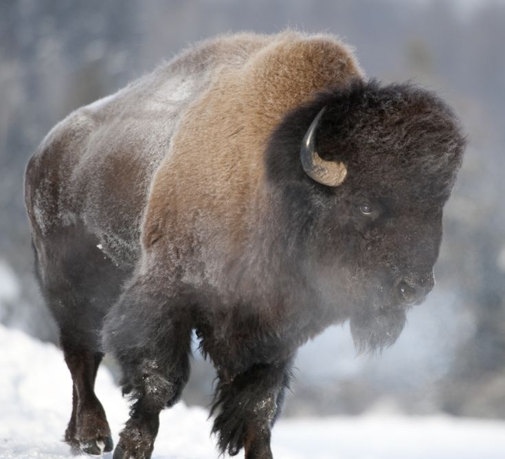 Bison | ... Court asked to review Yellowstone National Park bison management plan