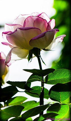 Marsha's Birthday Rose