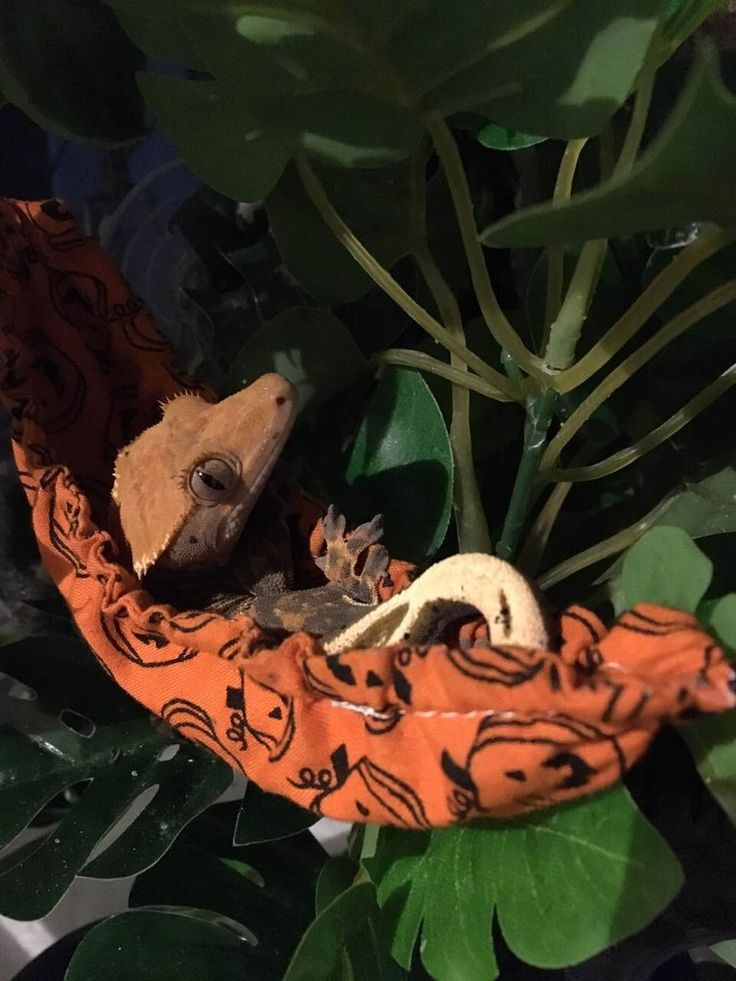 crested gecko in a hammock