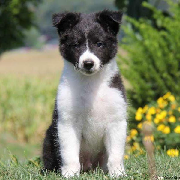 Pin Von Big Barker Dog Beds Auf Friendly Collies American Eskimo Dog Hundemischungen Welpen