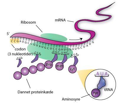 Translationen hvor protein dannes fra mRNA. tRNA baseparrer til det næste ledige codon på mRNA-strengen. tRNA'et indsætter dermed den passende aminosyre i den voksende aminosyrekæde, der bliver det nye protein.