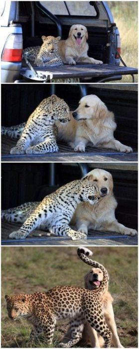 Too cute!Big Cat, Animal Friendship, Dogs, Best Friends, San Diego Zoos, Opposites Attraction, Leopards, Odd Couples, Golden Retriever