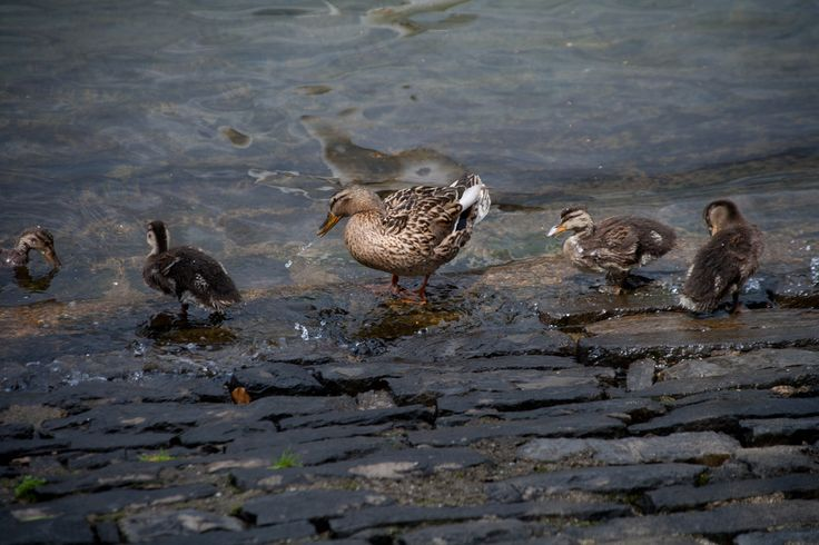 Malard Duck Chicks, Bellagio Dock, Lake Como, Italy www.italyunfettered.com