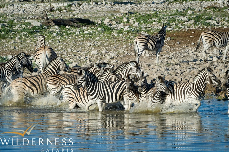 Andersson's Camp - Two species of zebra can be seen in Etosha, witrh the plains zebra being very common. Hartman's mountain zebra can be seen in the western areas of the park. #Safari #Africa #Namibia #WildernessSafaris