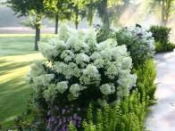 'Bobo' is a dwarf hydrangea covered by large white flowers all summer. The flowers are held upright on strong stems, and will continue to grow and lengthen as they bloom. 'Bobo' will reach a height of 2-3 feet, and is hardy to zone 3.