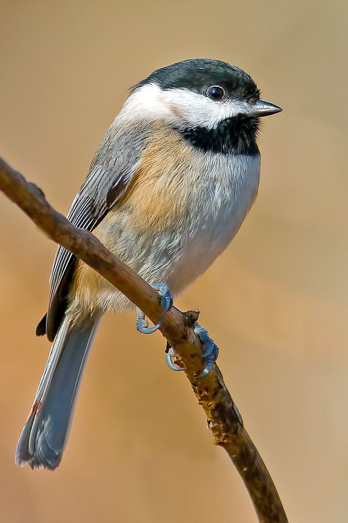 Carolina Chickadee | Flickr - Photo Sharing!