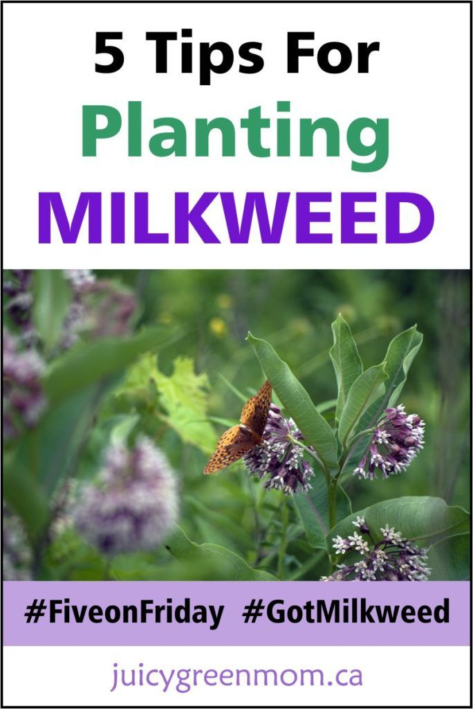 Milkweed is essential for monarch butterflies, so everyone is encouraged to plant it! These tips for planting milkweed will bring those monarchs to your...