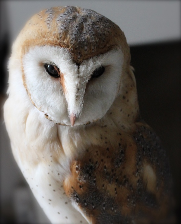 barn owl -- apparently these guys are disappearing in the midatlantic. threatened habitat. :-(