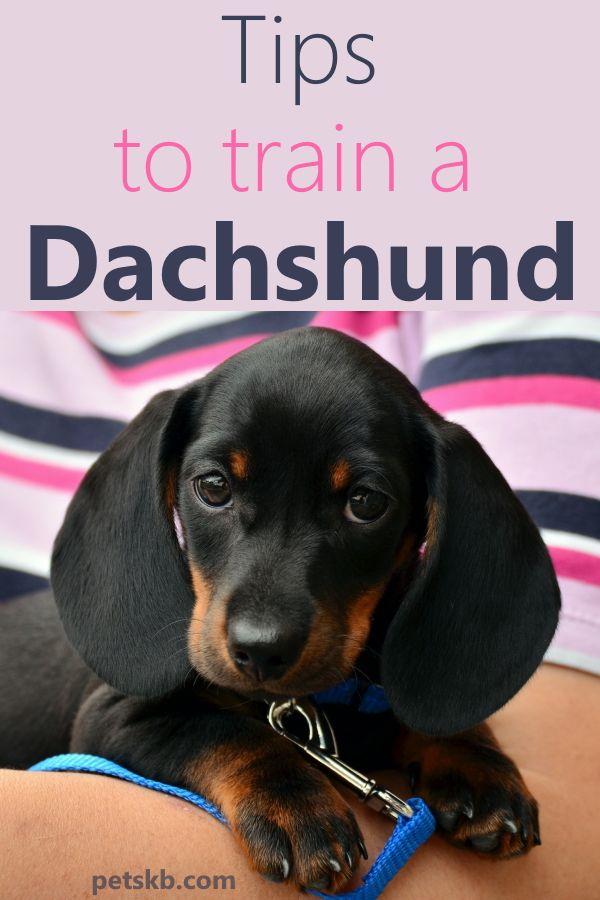 Is A Dachshund Hard To Train Dachshund Dog Care Train