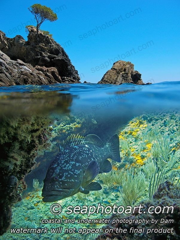 Split image with rocky islet above waterline and a dusky grouper fish underwater, Medes islands, Mediterranean sea, Spain