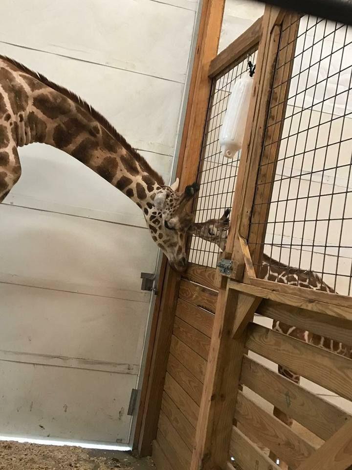 april the giraffe cam live