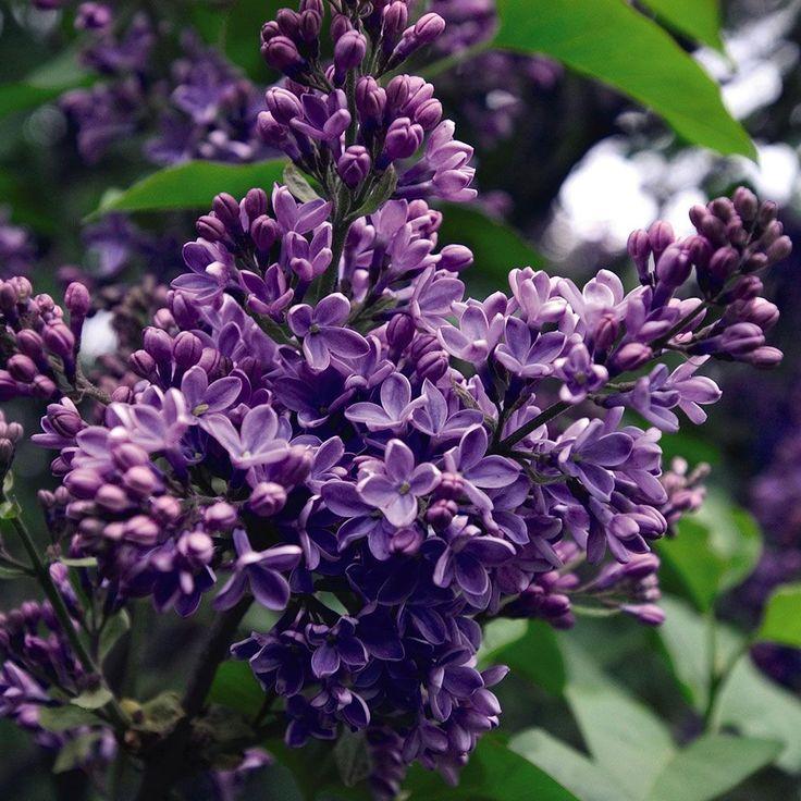 25 best ideas about syringa vulgaris on pinterest lilac - Syringa vulgaris ...