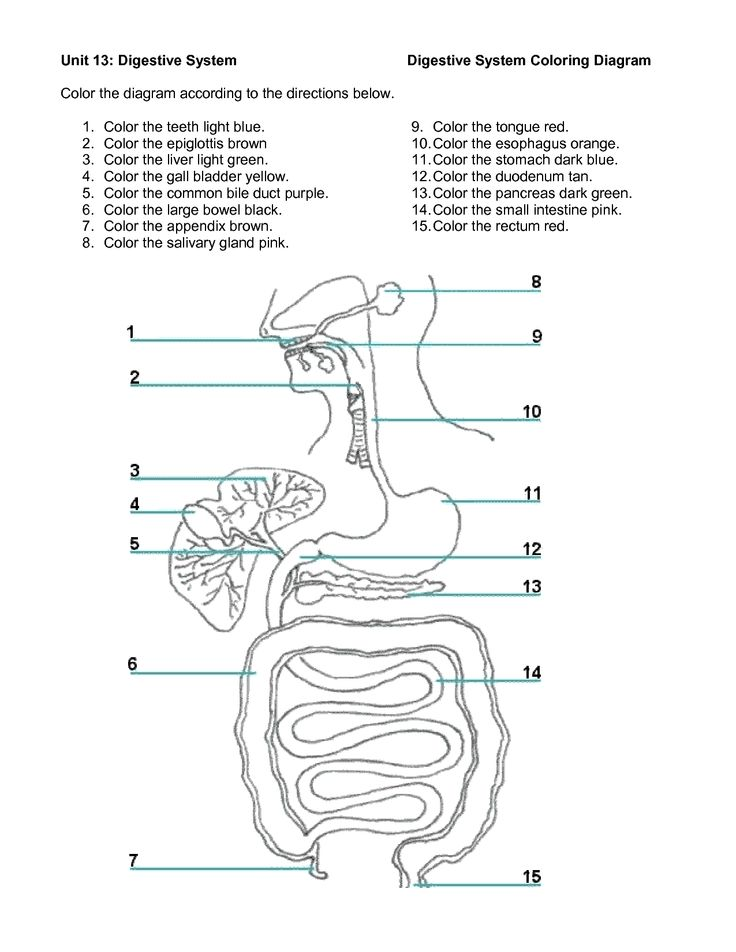 Digestive System Activities Middle School