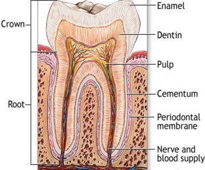 Dentin And The Layers Of Your Teeth Teeth Anatomy Periodontitis Teeth Diagram