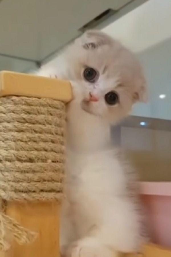 This Baby Munchkin Kitten Will Melt Your Heart Video In 2020 Munchkin Kitten Norwegian Forest Cat American Bobtail