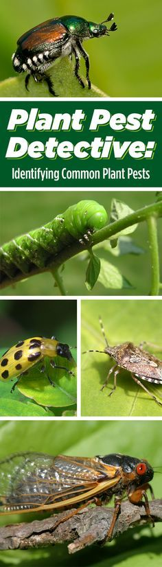 Plant Pest Detective: Identifying Common Plant Pests || Here's everything you need to know about the most common troublemakers in the garden. #gardening