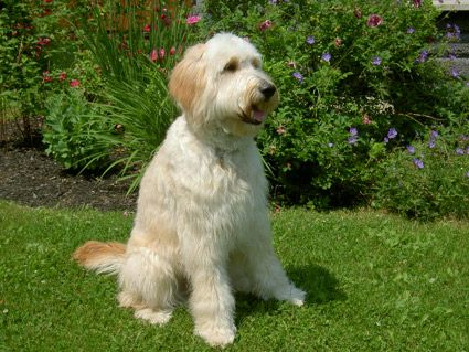 types of goldendoodle haircuts google search diy pin on golden doodles