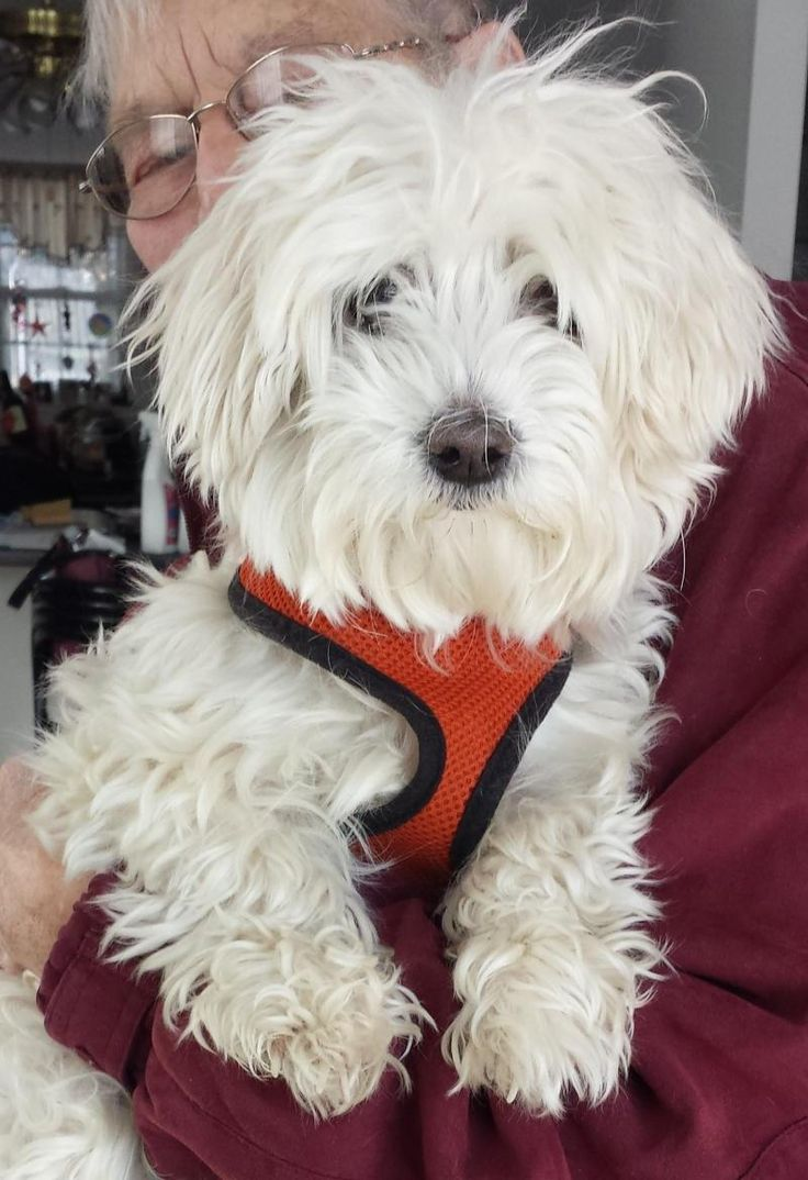Adopt Buttons On Maltese Dogs Adoption Animals