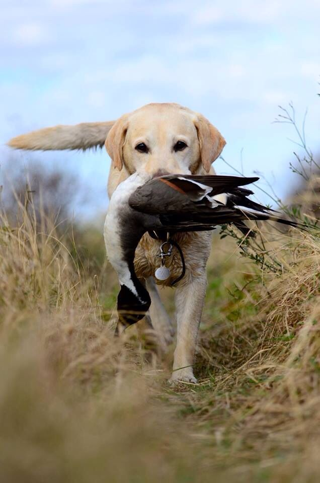 Yellow Lab Retrieving A Duck Just For Wyatt Hunting