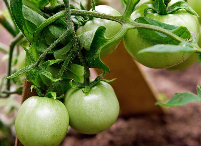 Как заготавливать зеленые помидоры на зиму   Ссылка на рецепт - https://recase.org/kak-zagotavlivat-zelenye-pomidory-na-zimu/  #Консервация #блюдо #кухня #пища #рецепты #кулинария #еда #блюда #food #cook