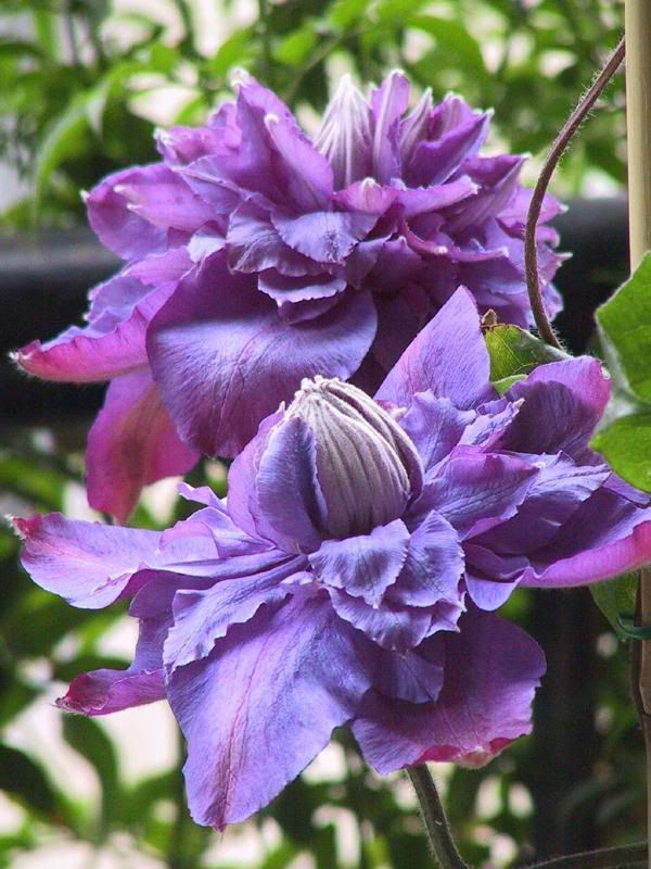"""Vyvyan Pennell""         The Vyyann Pennell Clematis- double flowers are a violet blue with reddish overtones that bloom in May and June, followed by single flowers in aluminous light violet in mid August."
