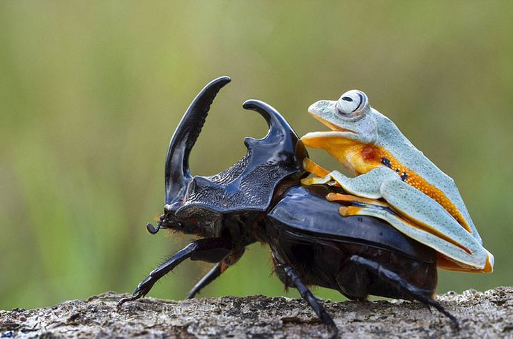 Hendy Mp, a wildlife photographer based in Indonesia, captured this weird and adorable spectacle – a tree frog going for a rodeo ride on the back of a giant horned wood-boring beetle. The tree frog is a Reinwardt's Flying Frog, a threatened species that can glide down from trees with the skin between its fingers and toes.  The scene was captured not far from Mp's home in Sambas, Indonesia.