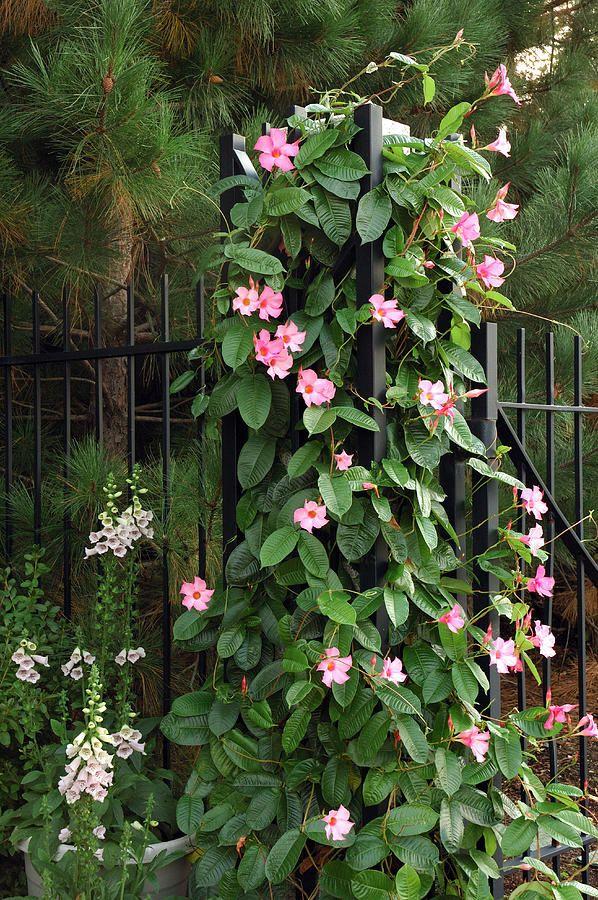 Mandevilla Vine With Pink Flowers