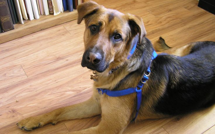 German Shepherd Lab Mix - A complete guide to a very popular designer dog breed! From temperament, to color, grooming, personality and behavior.