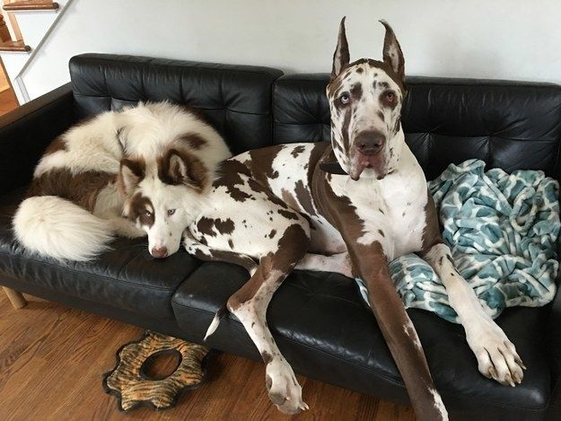 This Great Dane who doesn't care if there's enough room for her puppy pal on the couch. | 25 Huge Dogs Who Don't Realize How Gigantic They Really Are
