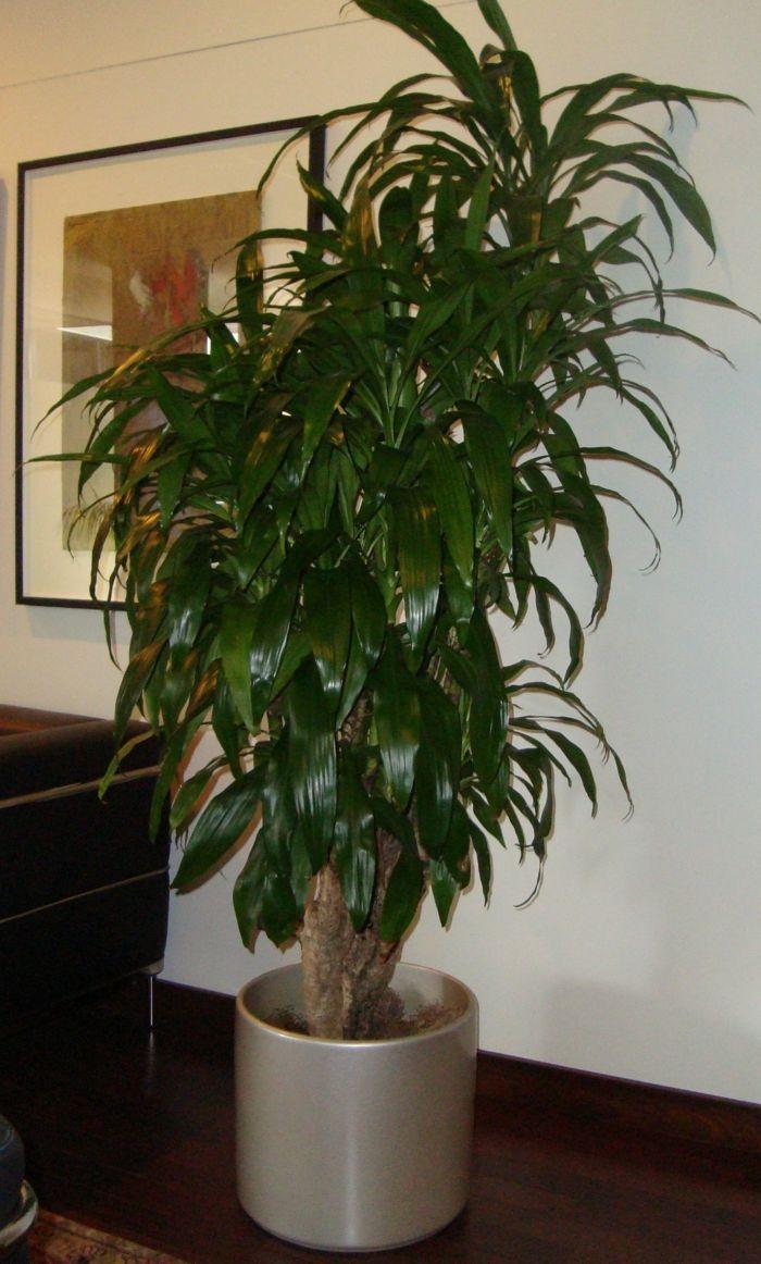Dracaena plantas de follaje verde plantas de interior - Plantas resistentes de interior ...