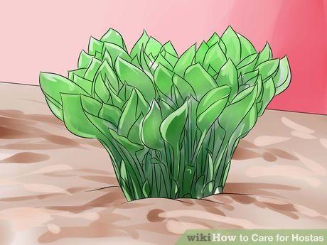 Image titled Care for Hostas Step 5