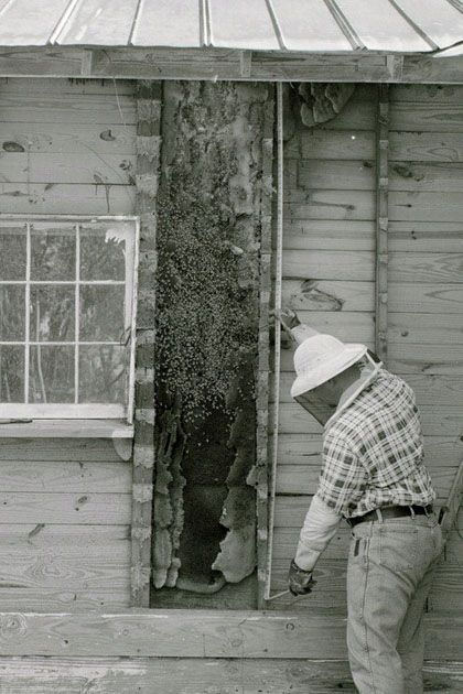 The natural nest-site of honey bees is hollows inside old-growth trees. Today, the most available nest sites may be man-made features like voids in houses and other structures. Bees do not cause significant structural damage and may cohabit with humans indefinitely. But if the owner wants them removed, it requires the services of a specialist.
