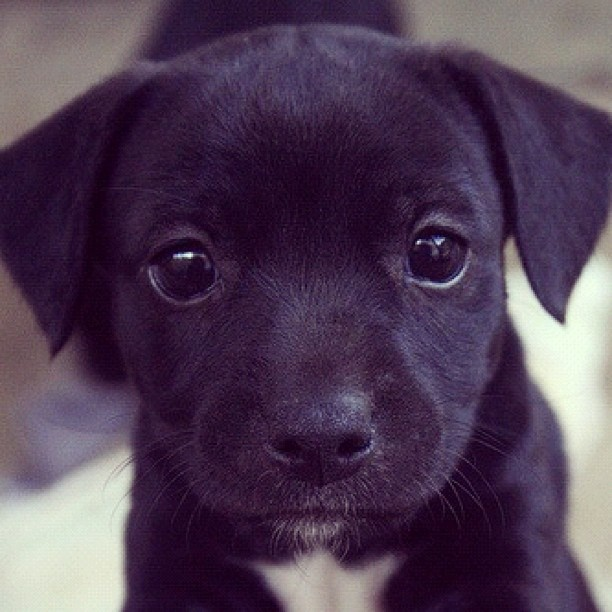 Cute Dog Black lab puppies, Cute baby dogs, Lab mix puppies
