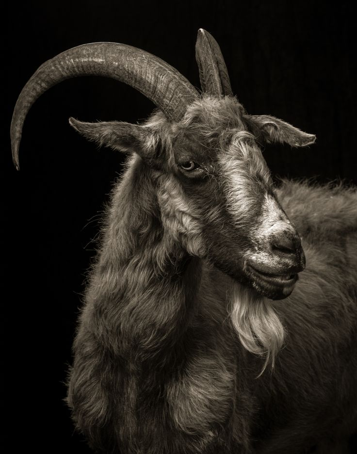 Majestic Black and White Studio Portraits of Goats and Sheep by Kevin Horanby Christopher Jobson on November 24, 2014
